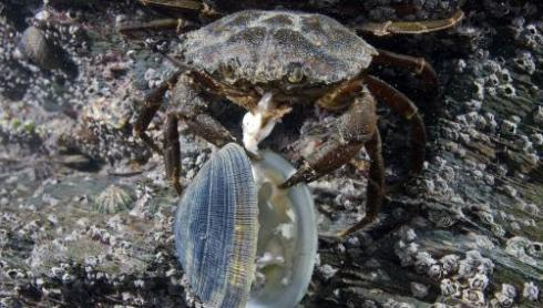 A green crab eating a clam