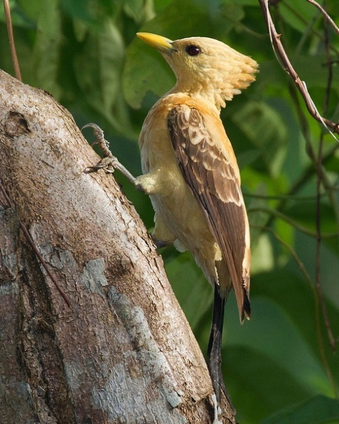The Cream-colored Woodpecker (Celeus flavus)