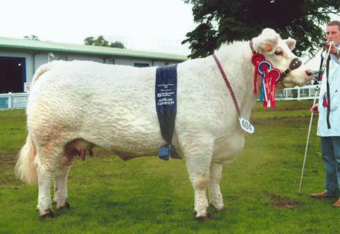 A Cream-Colored Charolais Cow