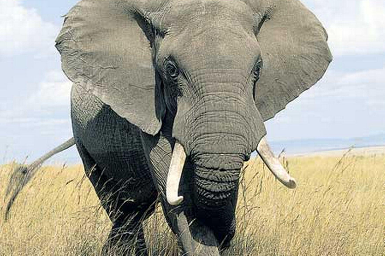 Https Ferrebeekeeper Wordpress Com Tag Elephant