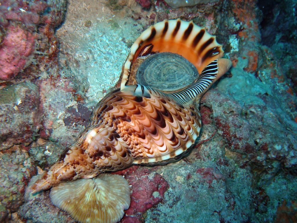 A Giant Triton (Charonia tritonis) on an Indonesian Reef