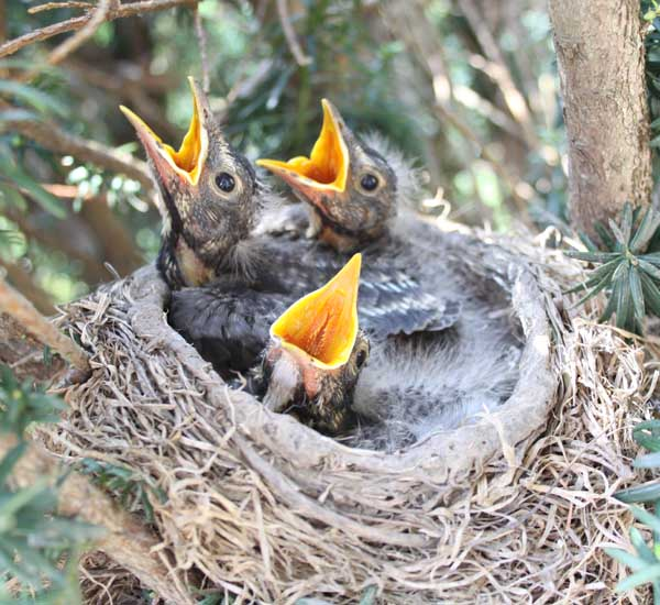 Image result for baby robins day by day