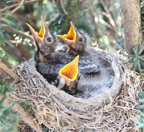 Baby-Robins-beeing-fedIMG_4104