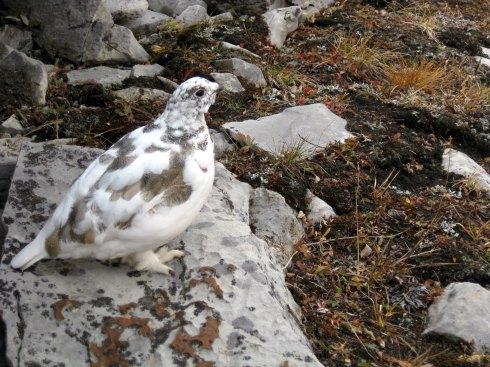 Rock Ptarmigan (Lagopus muta)