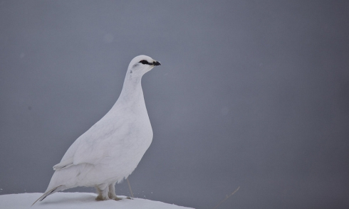 Rock Ptarmigan (Lagopus muta) by Ólafur Larsen
