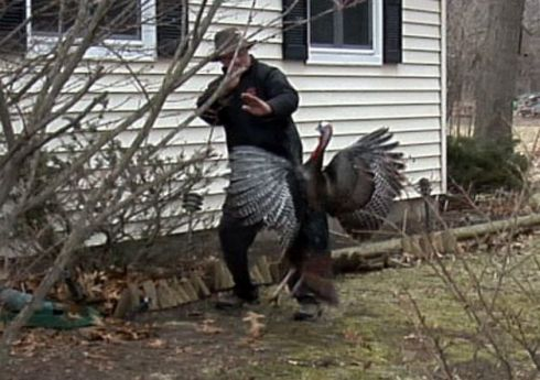 A homeowner attacked by a suburban wild turkey