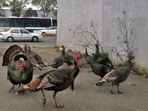 Wild Turkeys (Meleagris gallopavo) in the suburbs and towns