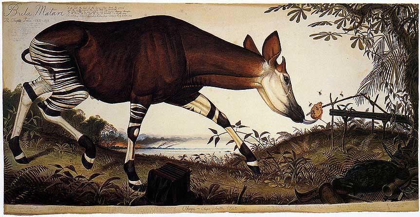 Okapi (Walton Ford, watercolor on paper)