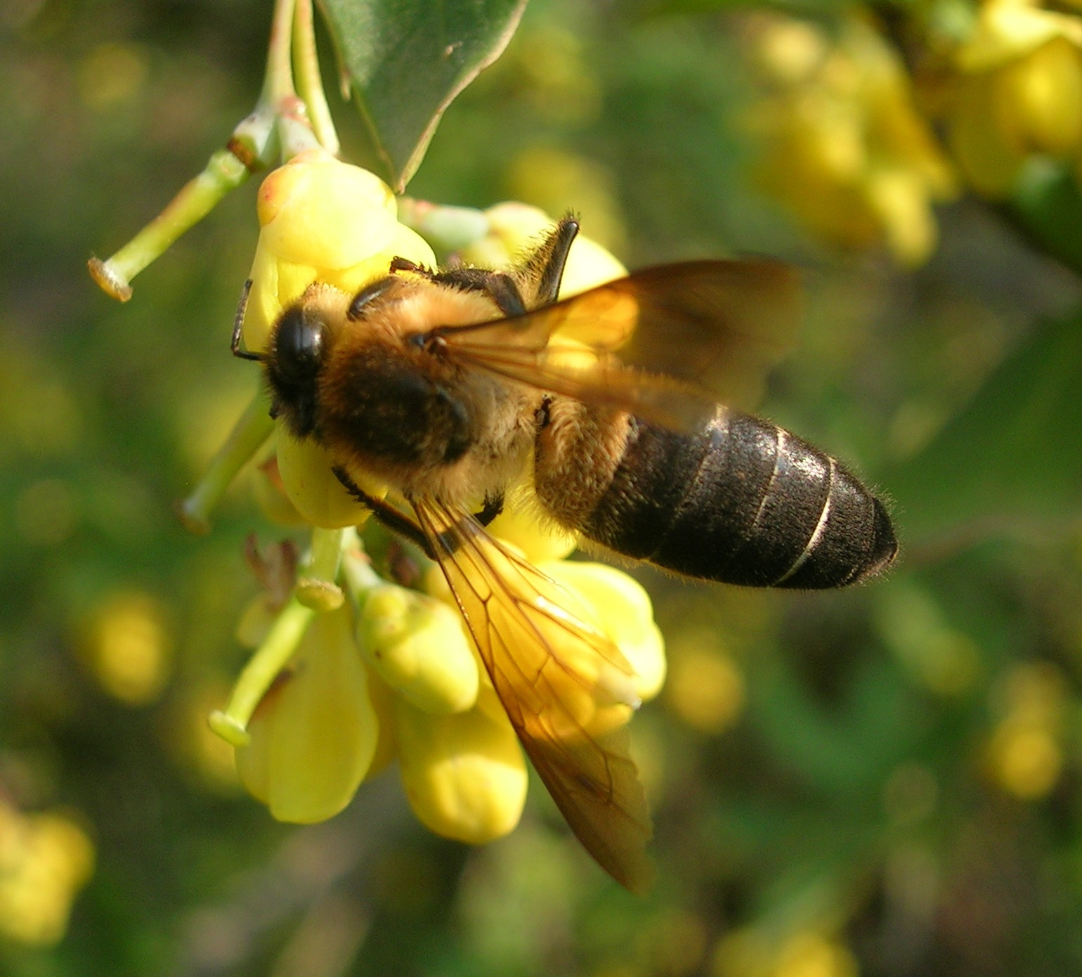 Himalayan Giant Honey Bee (Apis dorsata laboriosa), photo by L. Shyamal