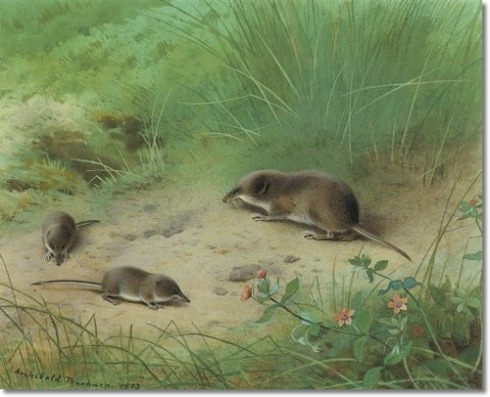 Lesser Shrew And Common Shrew (Archibald Thorburn, 1903, watercolor on paper)