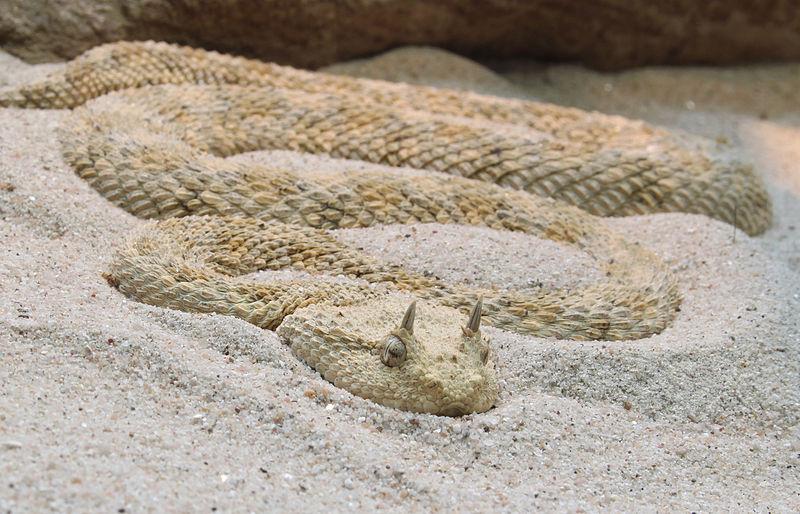 The Horned Desert Viper