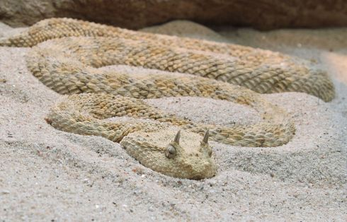 The Horned Desert Viper