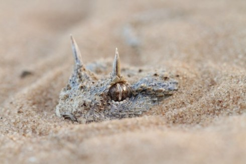 The Horned Desert Viper (Cerastes cerastes)