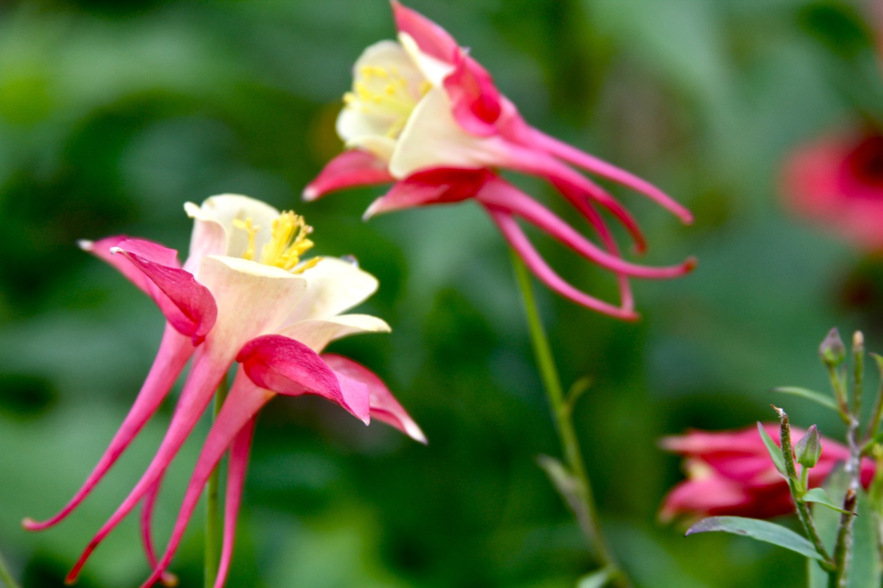 columbines…er, i mean aquilegias  ferrebeekeeper, Natural flower