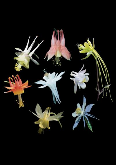 Flowers of the Aquilegia genus (AquiCredit: SA Hodges, MA Hodges, D Inouye)