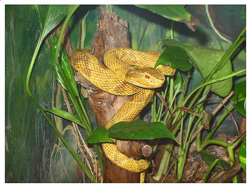 The Golden Lancehead Viper (Bothrops insularis)