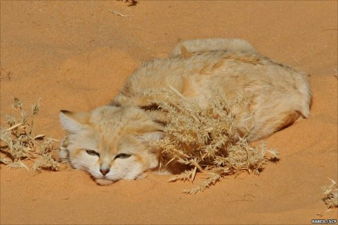 A sand cat hunkering down in the deserts of Saudi Arabia