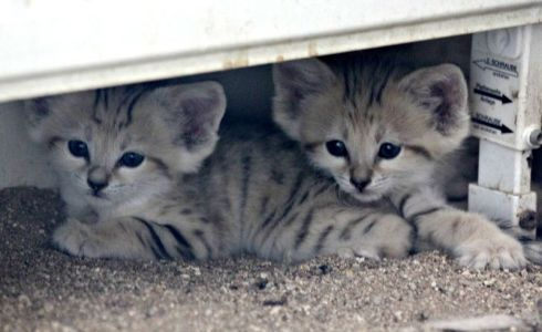 Sand cat kittens at Zoo Brno (credit: Zoo Brno)