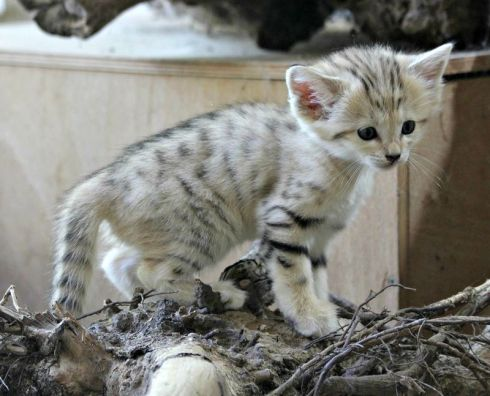 Sand Cat Kitten (Felis margarita) born at Zoo Brno