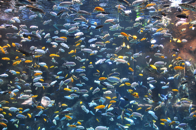 Cichlids of Lake Malawi
