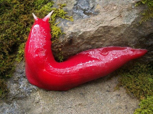 The hot pink Australian slug Triboniophorus aff. graeffei (Photo by Michael Murphy/NPWS)