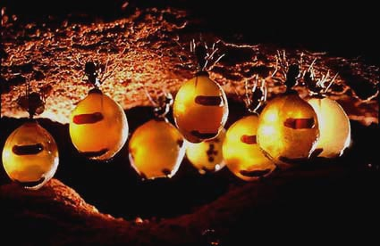 Honeypot ant repletes (Camponotus inflatus) hanging from the roof a hive tunnel