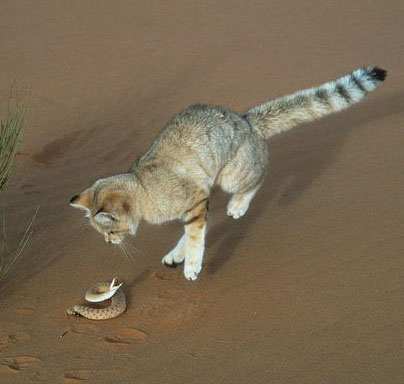A sand cat with a snake