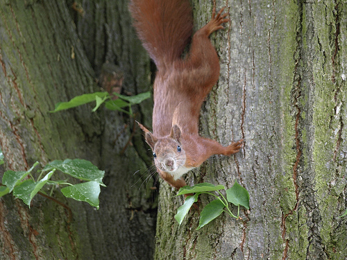 A European Squirrel (Sciurus vulgaris)