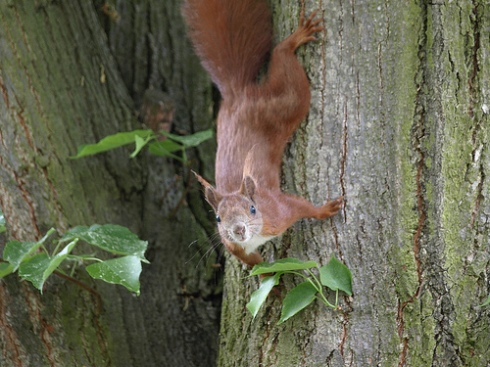 A European Squirrel (Sciurus vulgaris)