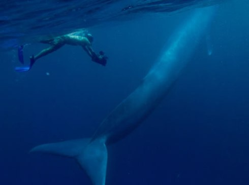 A diver with an immature blue whale