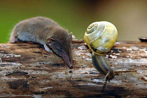 Etruscan Shrew with Snail