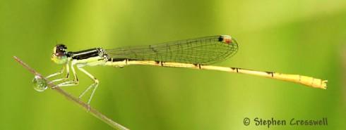 Citrine Forktail Damselfly (Ischnura hastata)