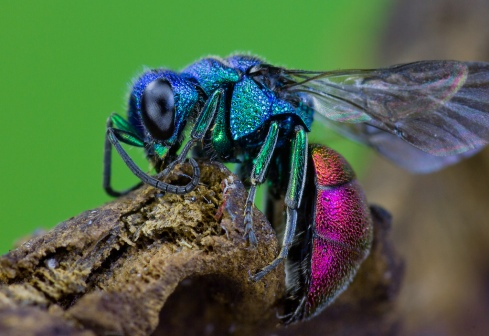 Ruby-tailed Wasp (Chrysis ignita) by Frupus