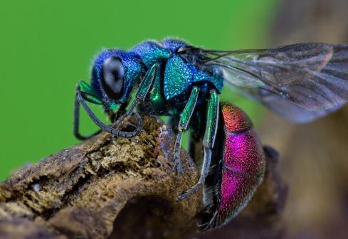 Ruby-tailed Wasp (Chrysis ignita) by Frupus