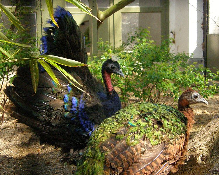 A pair of Congo Peafowl (Afropavo congensis) at Antwerp Zoo
