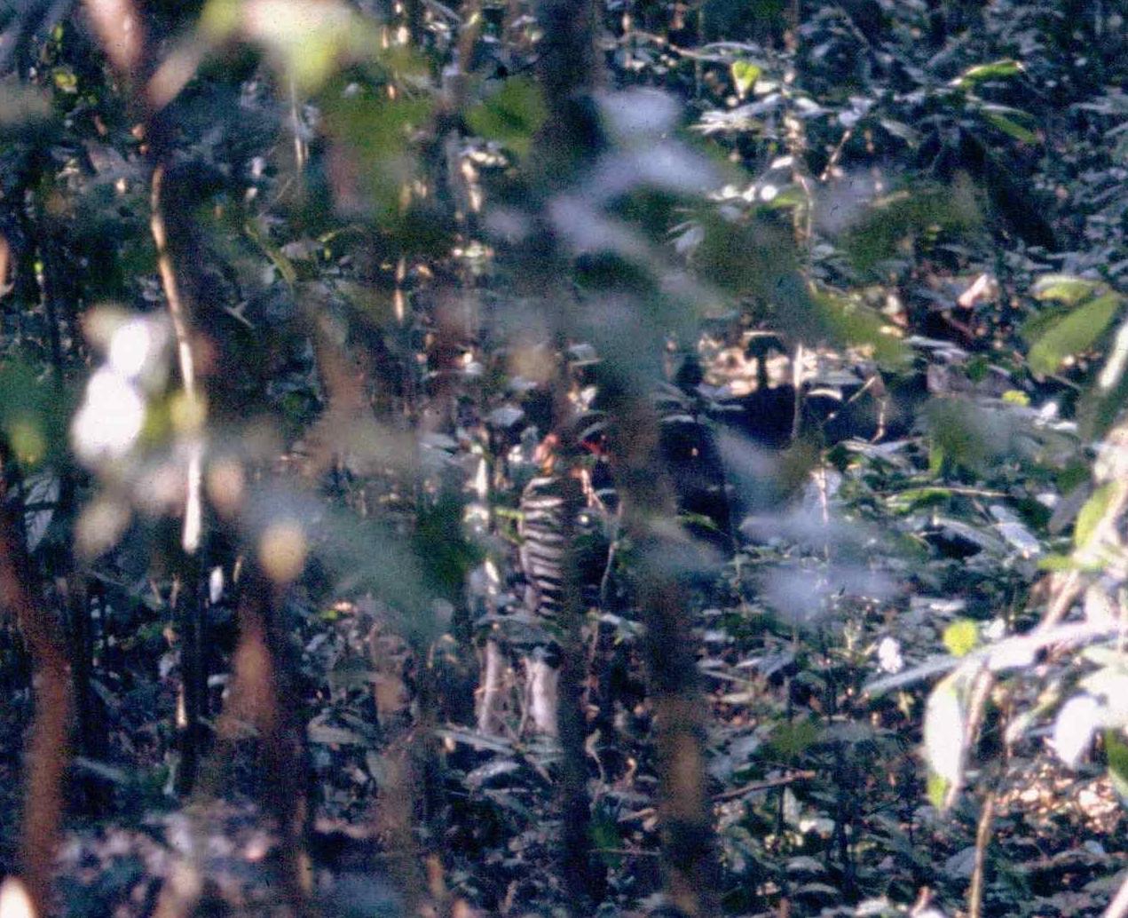 An okapi in a rainforest
