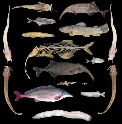 A few Congo River Fish