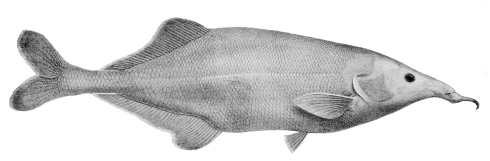 Genyomyrus donnyi (George Albert Boulenger)