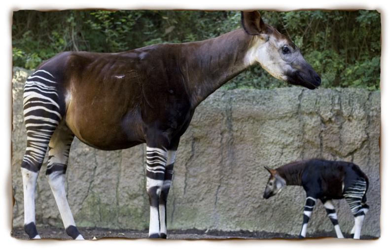 Okapi and calf at San Diego Zoo