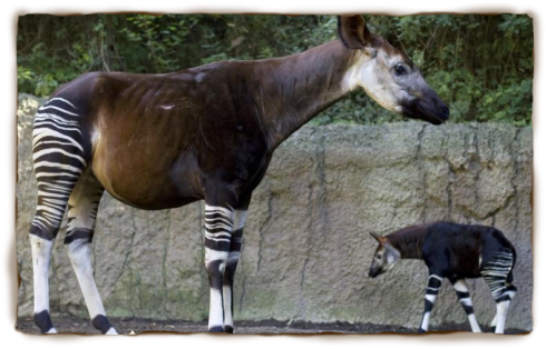 Okapi and calf at San Diego Zoo