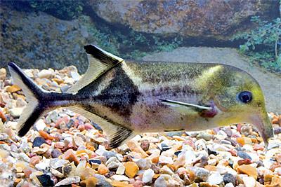 Campylomormyrus alces (from aquaria2.ru)