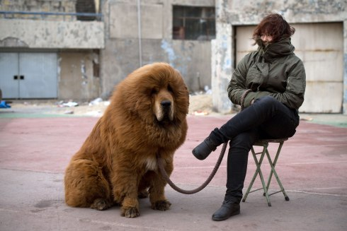 Tibetan Mastiff with Owner
