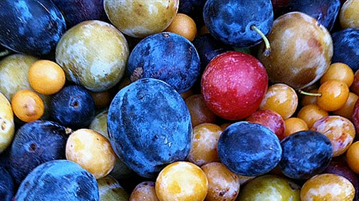 plums-from-tree-of-40-fruits-072214-