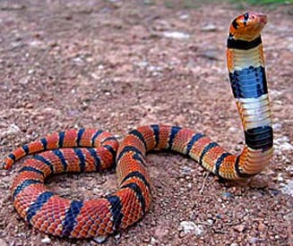 The Cape Coral Snake (Aspidelaps lubricus)
