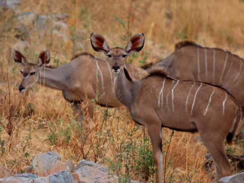 A herd of greater kudus (female)