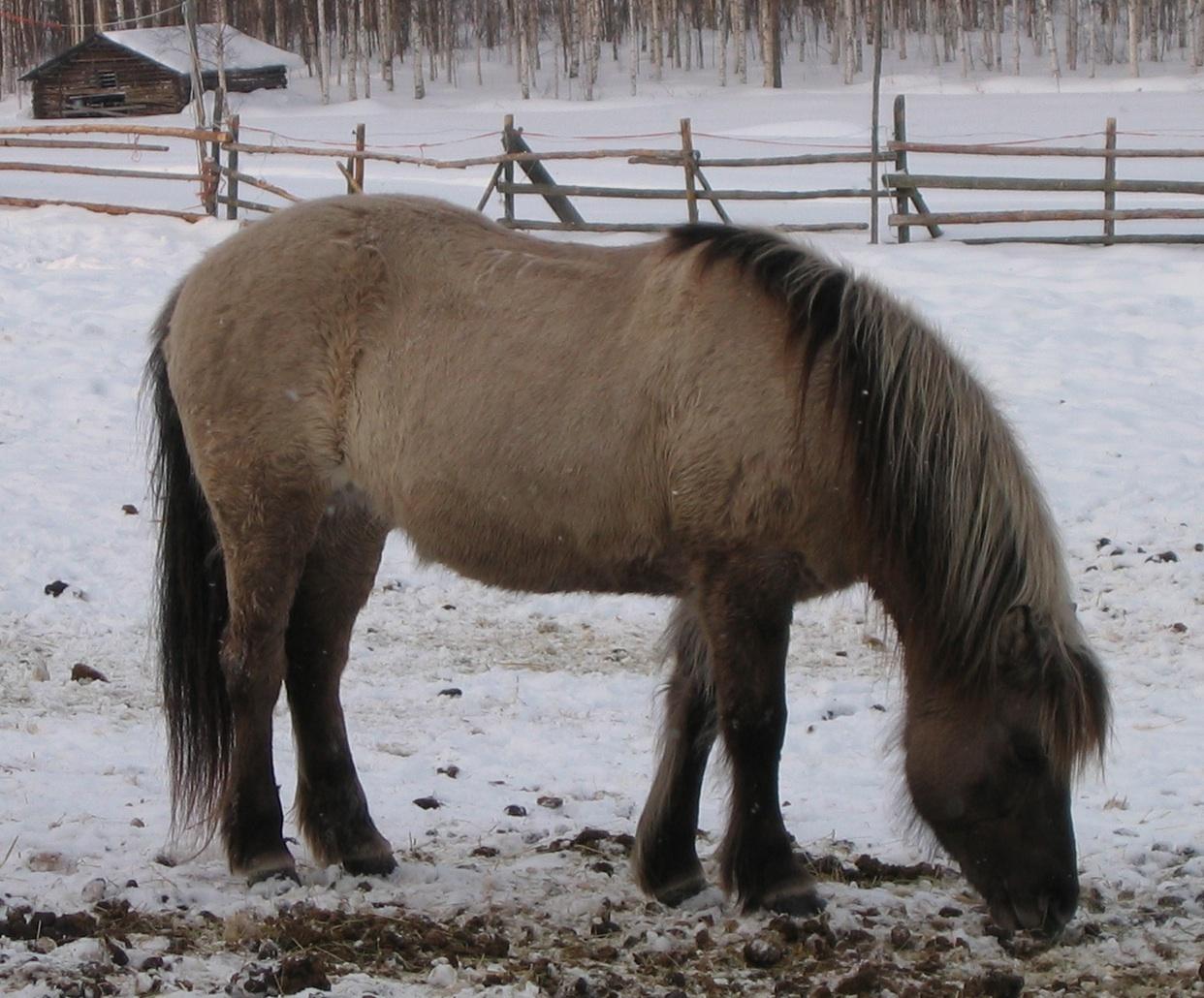 Grey Dun Icelandic Horse (Paula Jantunen)