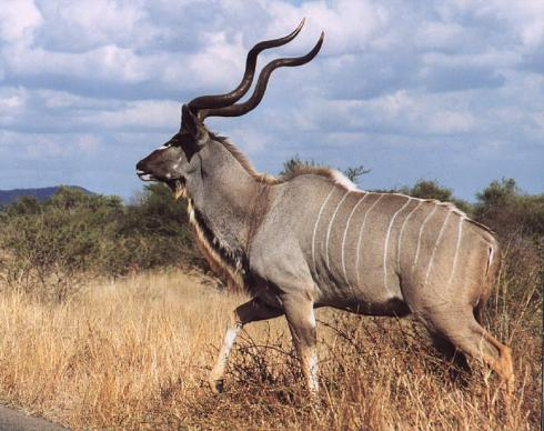 An Adult Male Greater Kudu (Tragelaphus strepsiceros)