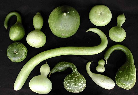 Bottle gourds (Lagenaria siceraria)