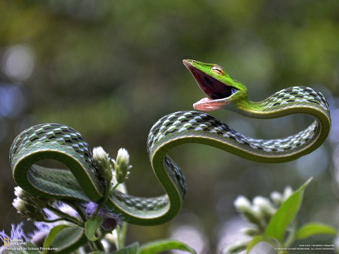 Green vine snake (Ahaetulla nasuta) Photo by National Geographic