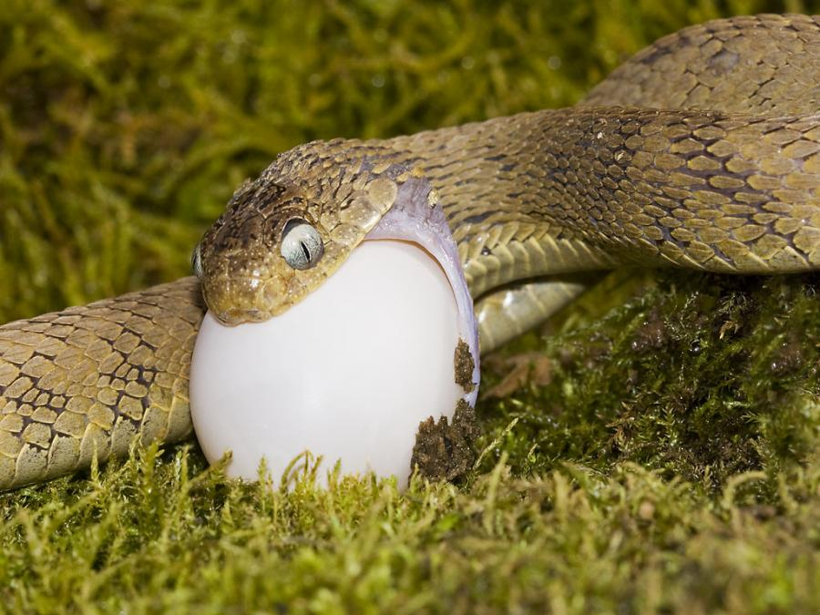 Dasypeltis scabra feeding on a fresh pigeon egg (from exotic-pets.co.uk)